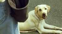 神犬小Q1:请善待每一条导盲犬