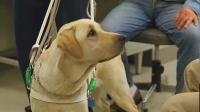 神犬小Q2:当盲人遇到温柔的导盲犬