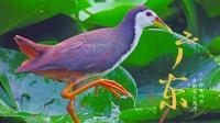 广东常见鸟类30种,这些鸟叫声你听过吗?