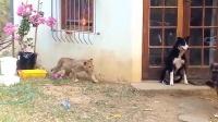 狗狗正在看门护院,转头发现狮子在自己身边,大家憋住別笑!