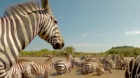 塞伦盖蒂:斑马家族过河噪声太大,引来鳄鱼袭击