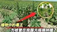 """植物中的""""毒王"""",美国作为战略物资求购,我国农村随处可见"""