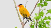 漂亮的小鸟黑枕黄鹂黄鹂鸟,附近有好听的乌鸫叫声
