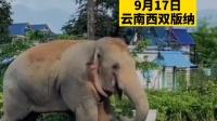 """9月17日,云南3头大象一路""""逛吃""""误入警营"""