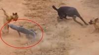 巨蜥误入村庄,以一敌五大战五只恶犬,镜头拍下精彩全过程!