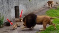 """雄狮一巴掌将儿子""""拍翻"""",不料被母狮看到"""