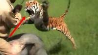 印度男子骑着大象,突然一头老虎猛地窜出!