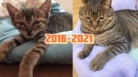 狸花猫五年成长变化,幸福肥之后态度也嚣张了