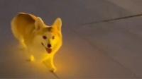柯基:看什么看 没见过夜光狗啊