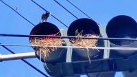 红绿灯当鸟窝?这鸟是真会找地方啊