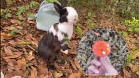 带兔子去山上玩耍发现好多野生香菇,这种吃完会一起躺板板吗?