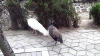 郑州市动物园孔雀