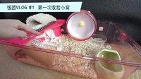 饭团VLOG-暴走的仓鼠观察日记#1【小RiN子】