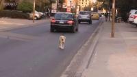 流浪狗曾因被丢弃, 现每天拦截过往车辆,希望带它回家