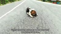 02❤流浪狗横穿马路遭遇车祸, 躺在街上生命垂危