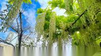 《紫藤花》取景;嘉定紫藤园