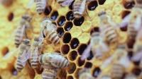 森林里的舞者, 租房住的蜜蜂