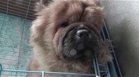 【萌犬仁球】喜欢枕着门槛睡觉的小熊熊