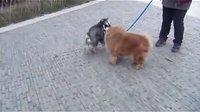 【萌犬仁球】早上散步,遇到一匹小马!