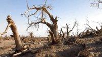 沙漠武士--胡杨树