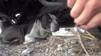身上肿瘤破裂出血的流浪比特犬得到救助