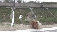 [萌犬仁球]奔放小松狮 狂追小帅哥