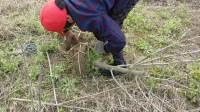 无籽大十大苗,当年结果桑葚树苗,果桑树大树带土球发货,桑葚果树4年丰产苗果树苗