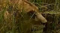 动物世界【野性的非洲】