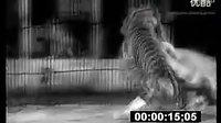 俄罗斯实拍东北虎暴打非洲野生雄狮