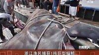 浙江渔民捕获1吨巨型蝠鲼