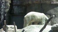 在圣地亚哥动物园的北极熊们 Polar Bears at the San Diego Zoo