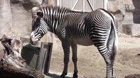在圣地亚哥动物园的斑马 Zebra at the San Diego Zoo