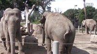 在圣地亚哥动物园的大象们 Elephant at the San Diego Zoo