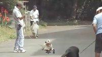 导盲犬小Q(1)