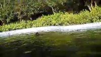 罗威纳训练—游泳