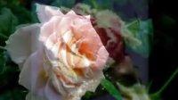 沈秀風 冬季玫瑰 심수봉 - 겨울장미