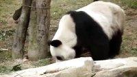 【拍客】广州亚运大熊猫正式展出助威亚运