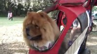 [萌犬仁球]小胖熊被困豪车 急中生智跳车解围