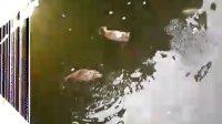 金鱼们和鸭子们的悠然生活