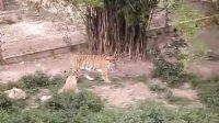 虎,我拍的