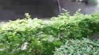 2011.05.29:熟悉的蝉声(视频)