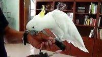 鹦鹉的磨指甲训练