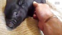 卖萌卡哇伊的宠物小黑猪