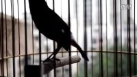 笼养鸟一年四季都能大唱