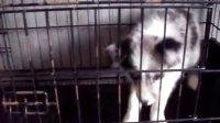 陨石色边境牧羊犬 视频
