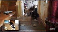 【嘿姆仔搞笑宠物视频】情侣猫咪醉酒后(真人版)