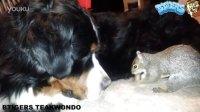 犯二的松鼠把坚果藏在伯恩山犬的皮毛里