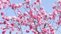 樱花(器材MDH2)