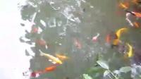 群情汹涌的龟鱼抢食场面
