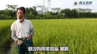 【水稻】广东江门水稻免疫增产技术应用指导